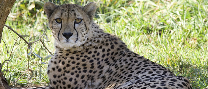 Cheetah cubs survive high-risk birth