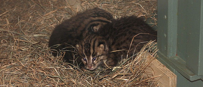 Fishing cats born at the Zoo for the first time