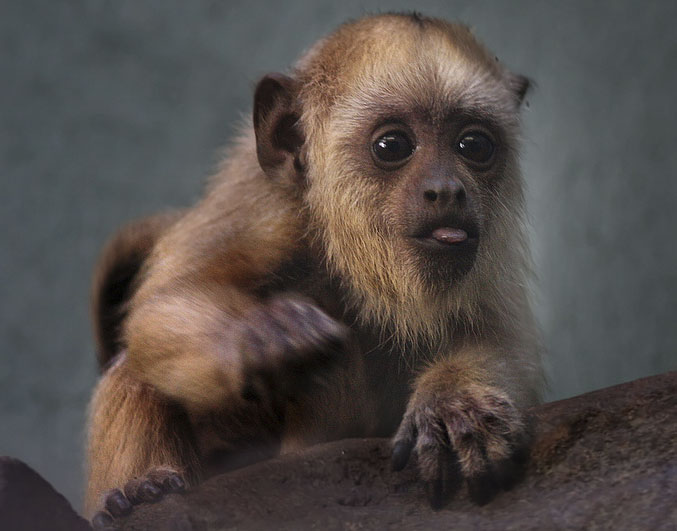 Name the baby howler monkey
