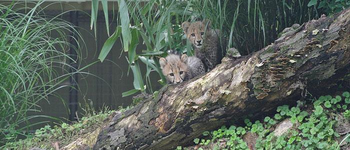 Cheetah cubs make their debut at the Zoo