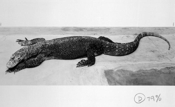 One of the two Komodo Dragons in the National Zoological Park's Reptile House, ca. 1988. Friendty is six-and-a half feet long and weighs 30.8 lbs. at the time of this photograph. Both dragons were a gift from the Government of Indonesia to the people of the United States. (Photo by Jessie Cohen, as featured in the Torch, September 1988)