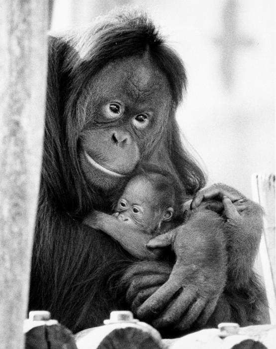 Tucker, a two-day-old orangutan, cradled in the arms of his mother Pensi at the National Zoological Park. (Photo by Jessie Cohen, as featured in the Torch, May 1983)