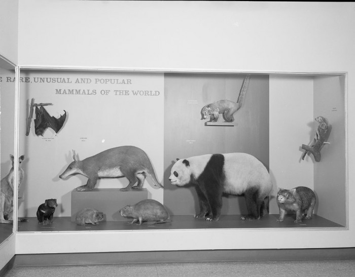 Exhibit case displays rare, unusual and popular mammals of the world such as the giant panda, aardvark; kangaroo and giant fruit bat.