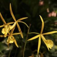 Bassocattleya 'Yellow Bird'