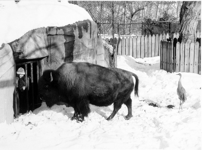 National Zoo animal keeper Morna Holden greets a bison as she puts out food for a sandhill crane. (Photo by Jessie Cohen, as featured in the Torch, March 1987)