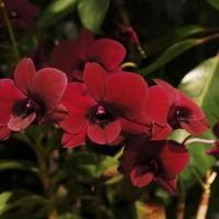 Dendrobium 'Regina Beauty'