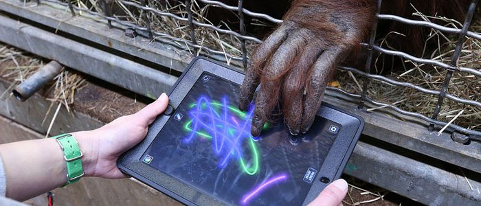 Great Apes at the Zoo embrace technology, complain about WiFi connection