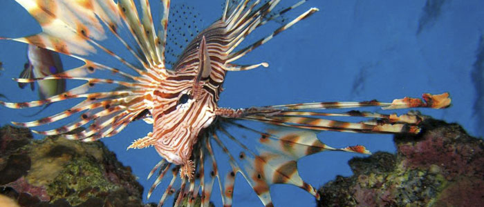Invasive, voracious and venomous–is the lionfish becoming the king of the Atlantic?