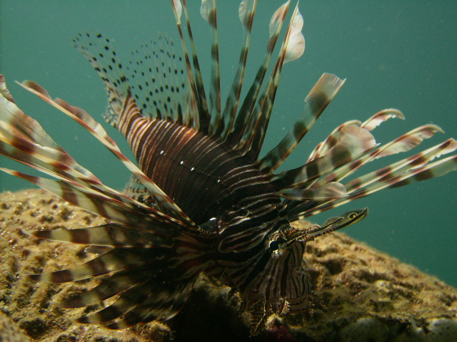 A lionfish in Bocas del Toro, Panama (Photo by Andrew Sellers)