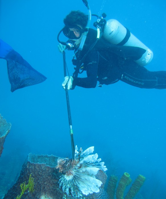 Andrew Sellers captures a large lionfish in Belize to take back to his laboratory for study. (Photo by Edgardo Ochoa, dive officer at the Smithsonian Tropical Research Institute)