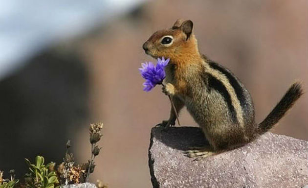 Many people do not realize that chipmunks are squirrels.