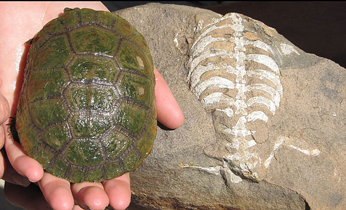 A living South African sideneck turtle (Pelusios niger) next to its 260 million year old relative, Eunotosaurus africanus. (Photo by  Luke Norton)