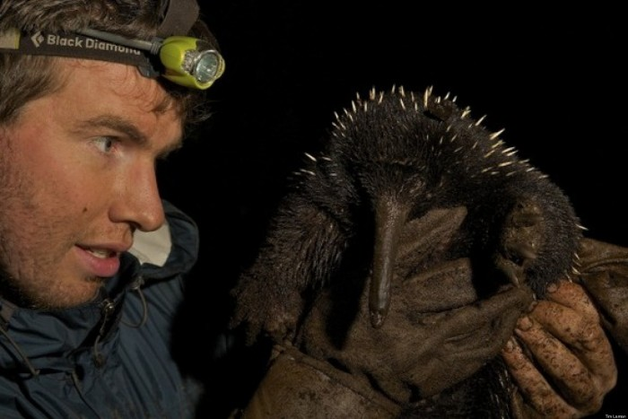 Kristofer Helgin with a the critically endangered long-beaked echidna, long thought to be extinct in Australia.
