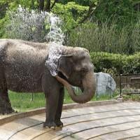 Asian elephant Ambika