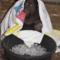 Kyle the orangutan keeps cool