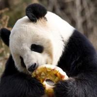 Tian-Tian enjoys a fruitsicle