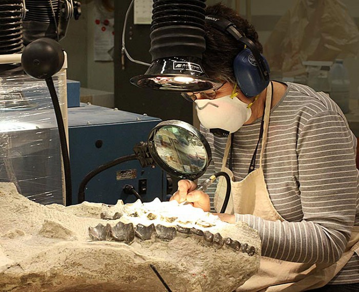 Lynn Russo uses an air scribe to remove rock from a fossil brontothere skull. Brontotheres were rhinoceros-like relatives of horses and tapirs that became extinct about 35 million years ago.  This fossil was found in South Dakota.