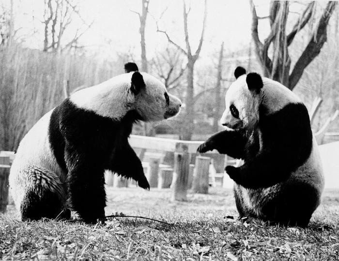 Ling-Ling (left) and Hsing-Hsing, the National Zoological Park's Giant Pandas, play together in their outside enclosure. (Photo by Jessie Cohen, as featured in the Torch, August 1985)