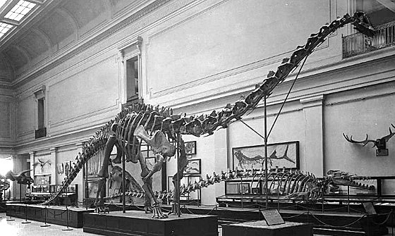 "Charles W. Gilmore wrote of the Diplodocus, shown here newly mounted in the Dinosaur Hall in the 1930s, ""The magnitude of the task... of preparing one of these huge skeletons for public exhibition can be fully appreciated only by those who have passed through such an experience."""