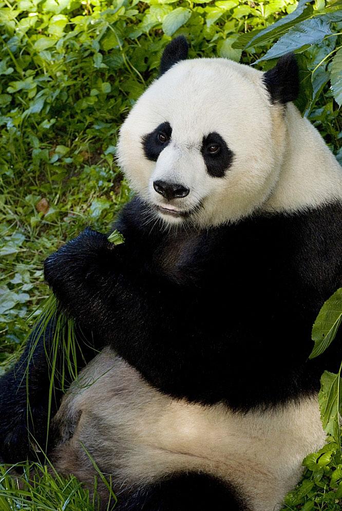 Giant panda Mei Xiang