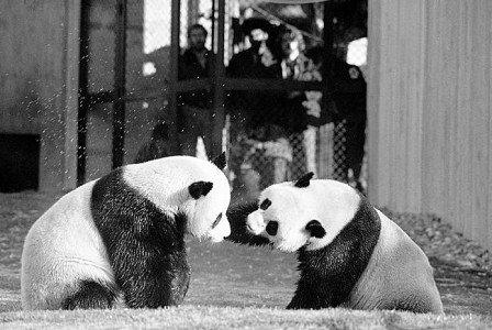 The pandas Ling-Ling and Hsing-Hsing in 1974. The zoo's attendance grew sharply after the pandas arrived from China in 1972, with their efforts to reproduce drawing widespread attention. (Photo by Charles Tasnadi/Associated Press)