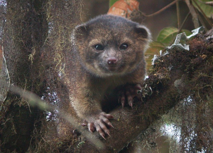 A team, led by Smithsonian scientist Kristofer Helgen, spent 10 years examining hundreds of museum specimens and tracking animals in the wild in the cloud forests of Ecuador. The result―the newest species of mammal known to science, the olinguito (Bassaricyon neblina). ―photo credit: Mark Gurney