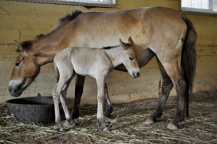 This filly is the first Przewalski's horse conceived through artificial insemination.  (Photo by Dolores Reed)