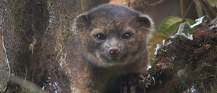 Crowdsourcing the olinguito