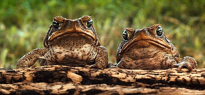 The stowaway parasite, or: Why haven't cane toads taken over the world?