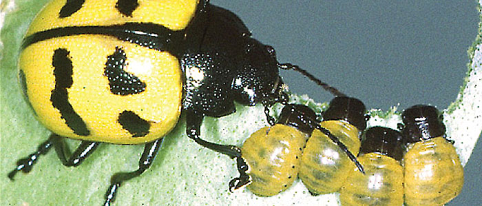 Beetle moms show clear maternal instincts