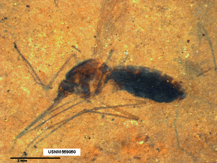This image is a microscope photograph of a piece of shale from the Kishenehn Formation in northwestern Montana containing the fossil of a blood-engorged mosquito. Scientists from the Smithsonian and the Natural History Museum in London have discovered biomolecules from the blood in the mosquito's abdomen that have been preserved for 46 million years.