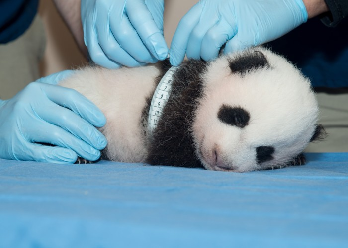 Panda cub continues to thrive