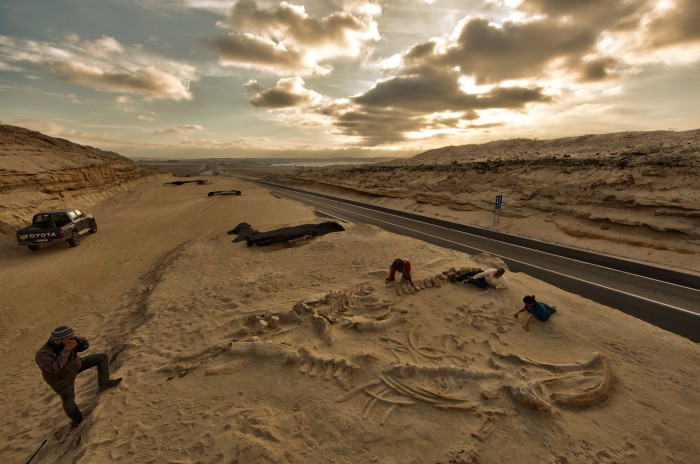 Chilean and Smithsonian paleontologists study several fossil whale skeletons at Cerro Ballena, next to the Pan-American Highway in the Atacama Region of Chile, 2011. (Photo by Adam Metallo)