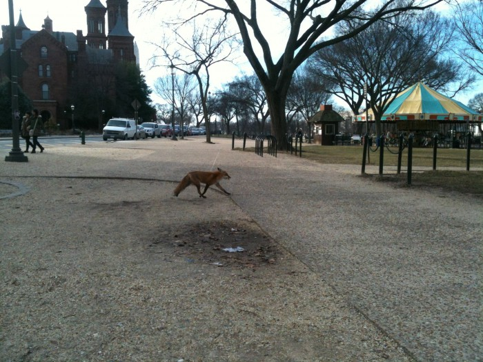 At least one red fox has taken up residence in and around the Haupt and Ripley Gardens. This one was spotted going nonchalantly about her business on the National Mall.