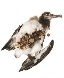 Albatross body with plastic stomach contents