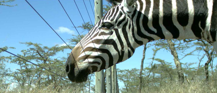 For want of a horse (and zebras, impalas, elephants…)