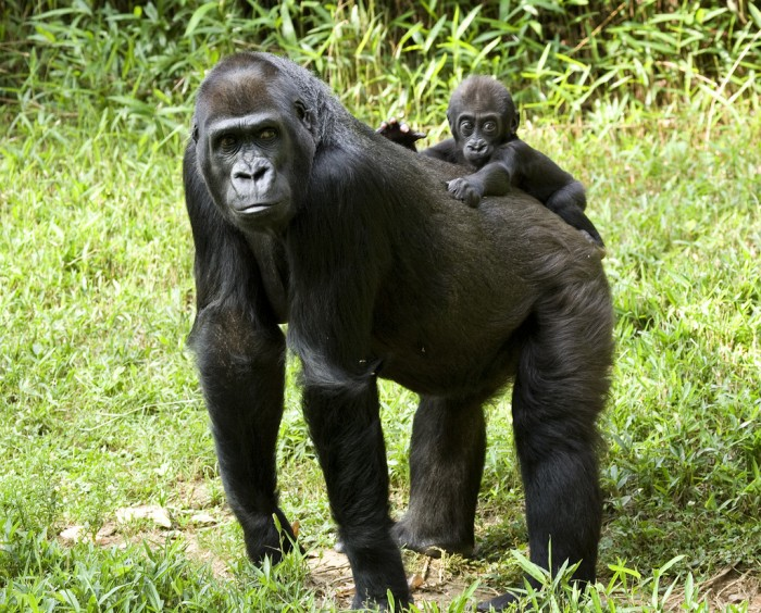 Six-month-old baby Kibibi and mother Mandara in 2009. (Photo by Mehgan Murphy, Smithsonian's National Zoo)