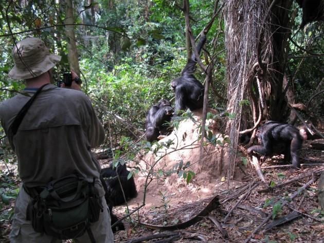 """Robert O'Malley videotapes a chimpanzee troop in Gombe National Park, Tanzania, """"fishing"""" for termites on a termite mound. (Photo courtesy Robert O'Malley)"""