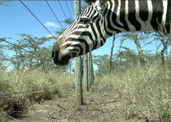 Zebra looking through a fence