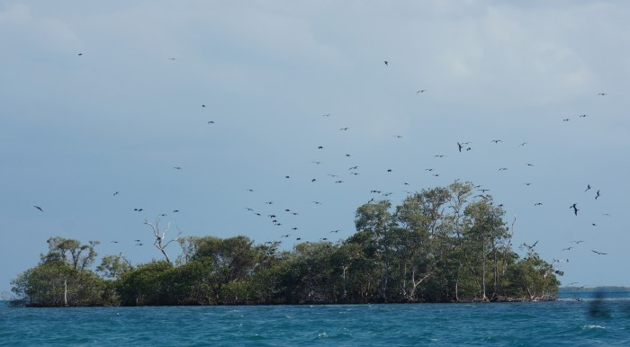 Frigate birds wheel above the rookery they have constructed in a stand of mangroves. (Photo by John Gibbons)