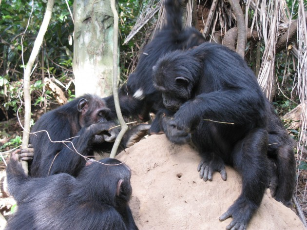 A chimpanzee troop in Gombe National Park, Tanzania, dining on termites that they pull from the mound using long sticks. (Photo by Robert O'Malley)