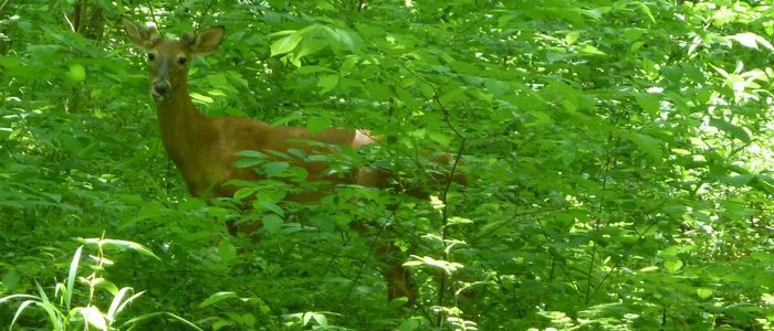 Yes, deer–Herbivores help keep forests healthy