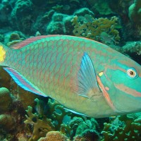 Stoplight parrotfish (adult supermale)
