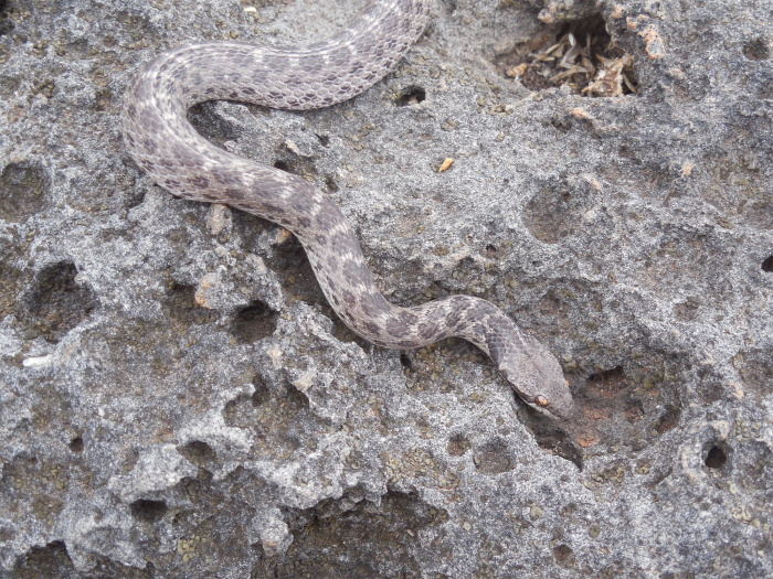 Clarion nightsnake in Mexico