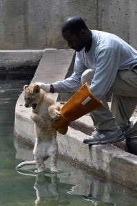 Saffoe administers a swim reliability test to an unwilling lion cub. (Photo by Jen Zoon)