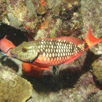 Stoplight parrotfish (female)