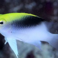 Yellowhead damselfish