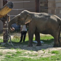 In this photo, Asian elephant Swarna. (Photo by Jen Zoon)