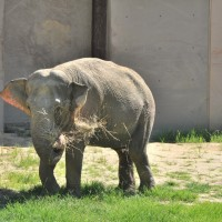 Asian elephant Swarna enjoys a snack. (Photo by Jen Zoon)