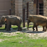 Asian elephants Swarna, (left), and Kamala, (right). (Photo by Jen Zoon)